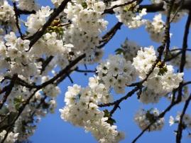 Pusteblume, Löwenzahn, Pollenwarndienst